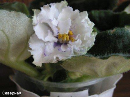 Цветочки Северной - Страница 2 Cfecd51f60c7
