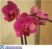 Фаленопсисы гибридные - Страница 2 10627a7200e4t