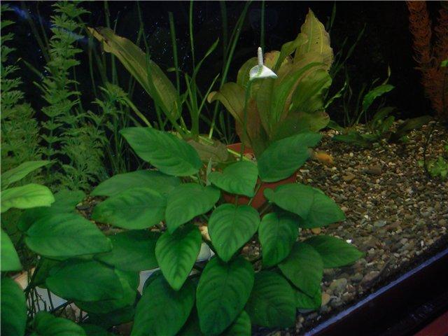 Цветение аквариумных растений 962f36694622