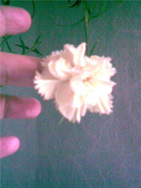 гвоздика Шабо-из семена 9facfa7502eb