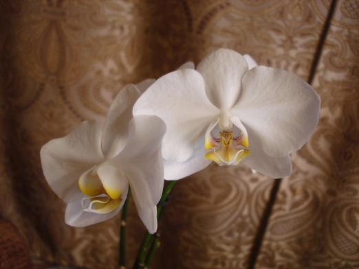 Разведение орхидей. - Страница 11 97fdd639cb56