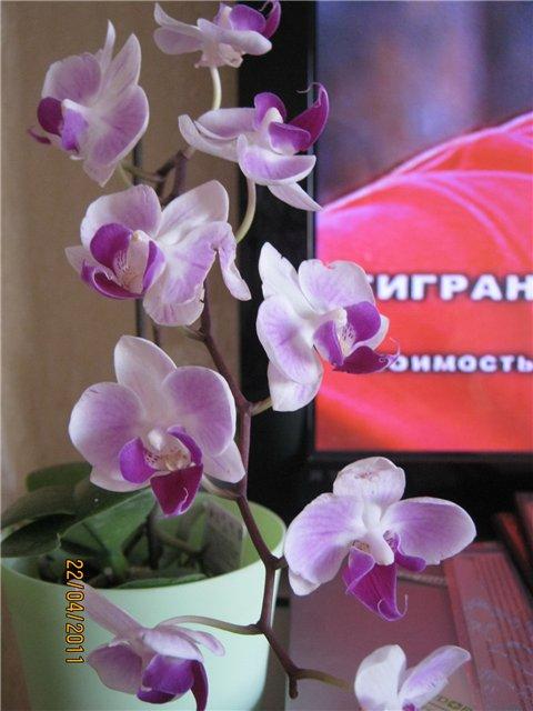 Разведение орхидей. - Страница 13 40c84f4e0b85