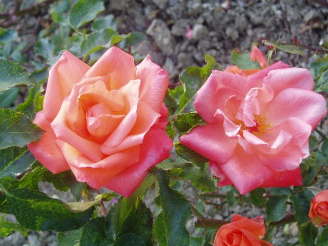 Парад хризантем в Никитском ботаническом саду. Крым  - Страница 2 61181f4fa1aa