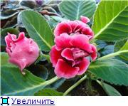 Продам цветущие фиалки и детки, эписции, глоксиии, сортовые герани, сингониум и др. - Страница 3 0ac5fc42b175t