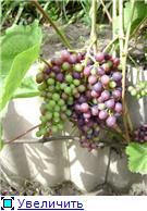Виноград- секреты выращивания 04990ac7eb1et