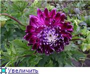Георгины в цвету 957f24e3e567t