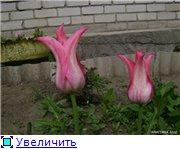 Тюльпаны - Страница 2 Fdcf01cd8e72t