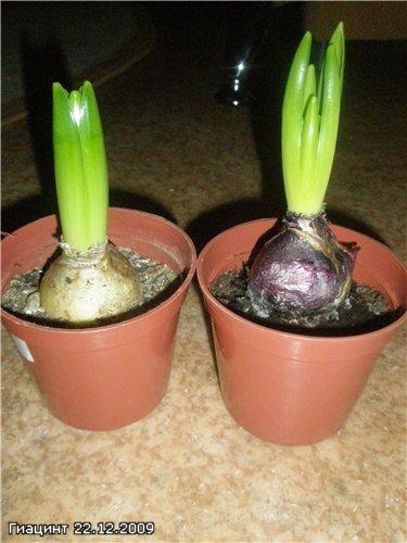 Выращивание Гиацинтов 1881464be759