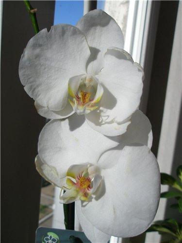 Разведение орхидей. - Страница 12 B00ef3d7d0a1