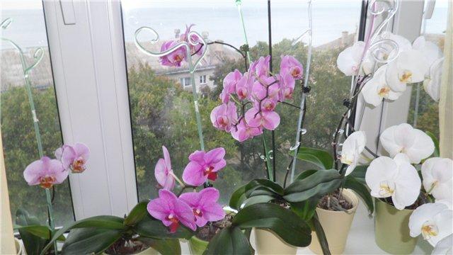 Орхидея в квартире - Страница 3 565906e96244