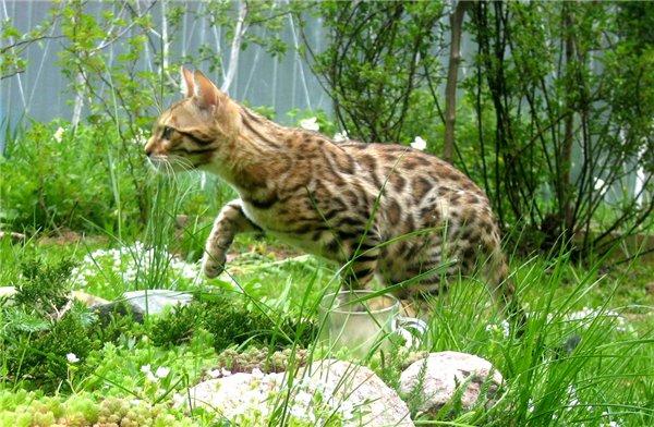 KLEOPATRA питомник бенгальских кошек B1156c2e2e7b