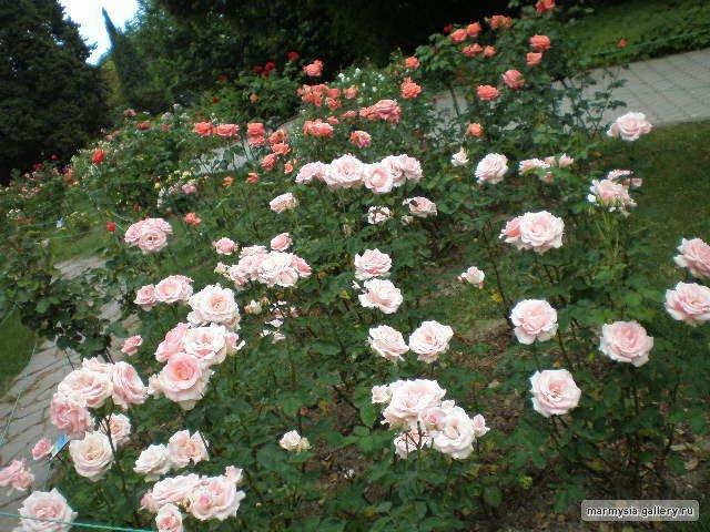 Крым. Никитский ботанический сад. - Страница 2 F91bfa199d1b