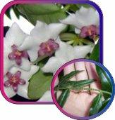 декоротивно-лиственные и красивоцветущие растения - Страница 4 0a94ff2a2d9f