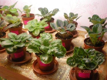 Выращивание листовых черенков в торфяных таблетках. - Страница 6 81dd8cc877df