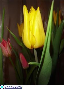 Выгонка луковичных. Тюльпаны, крокусы и др. Cd00578cceb6t