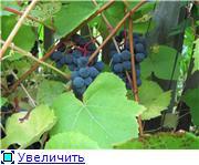 Виноград- секреты выращивания D6fc1254a2f6t
