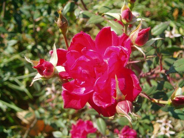 Парад хризантем в Никитском ботаническом саду. Крым  - Страница 2 Da10aa0c2fe4