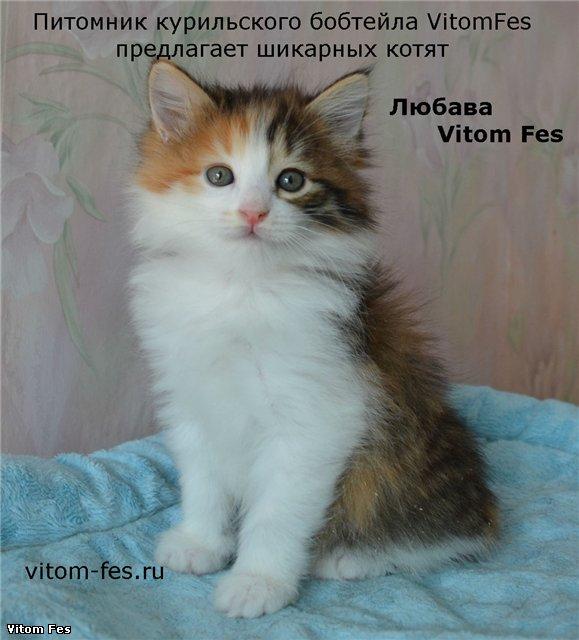 Котята Курильского бобтейла 178cc0a58be9