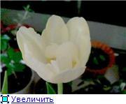 Выгонка луковичных. Тюльпаны, крокусы и др. - Страница 3 94b1f1c80622t