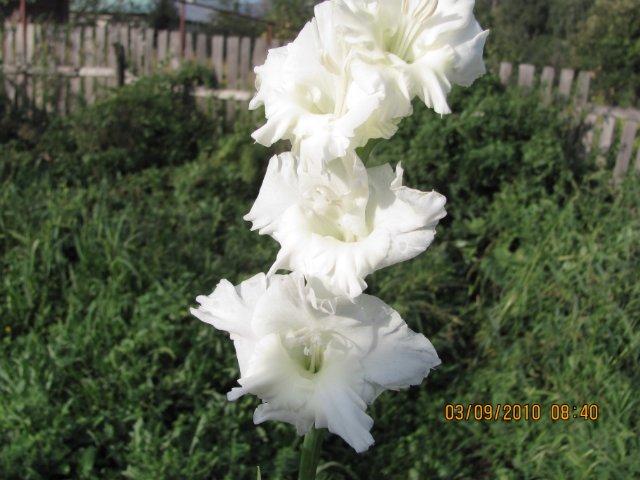 Мои садовые - Страница 2 054727f83b7f