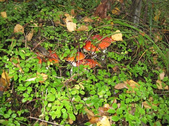 За грибами в Конаково (Тверская область, Волга)! C32f7875ee2a
