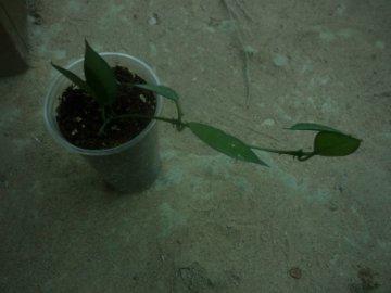 декоротивно-лиственные и красивоцветущие растения - Страница 4 8271bef6d9ae