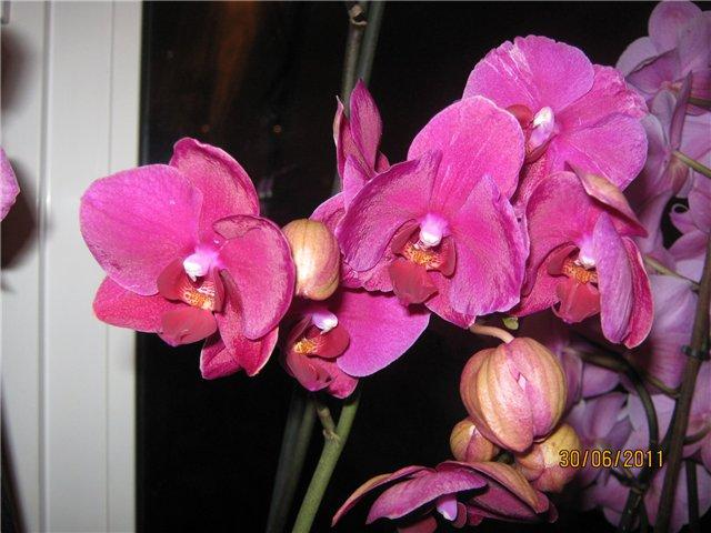 Разведение орхидей. - Страница 13 Eac2cb1b4869