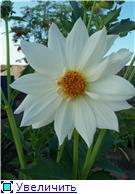 Георгины в цвету - Страница 2 A892aab3d9e9t