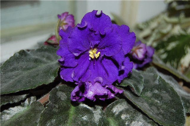 Растения Татьяны Малыгиной-фиалки, адешки, хойи, орхи... Af3e9b6e12df