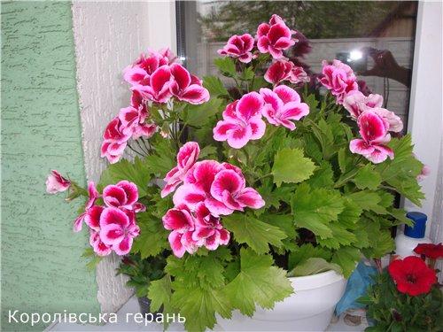 Які квіти прикрашають Ваші ґанки, підвіконня, балкони? 8cd10006f55d