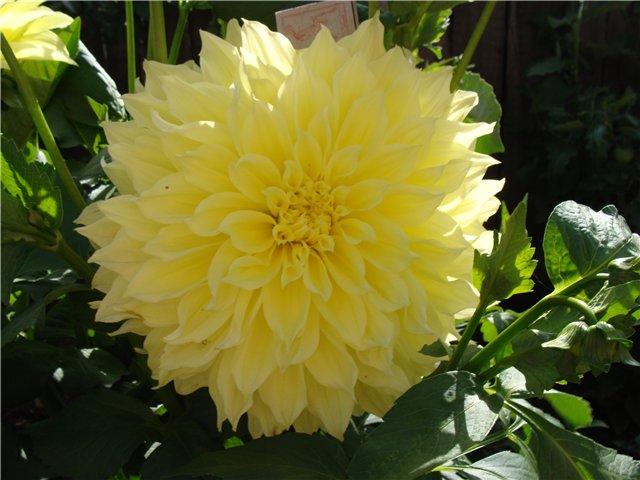 Георгины в цвету - Страница 2 8149fe97b26e