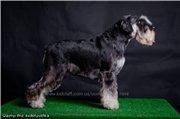 Цвергшнауцера щенки, окрас черный с серебром 57cb6c6346b7t