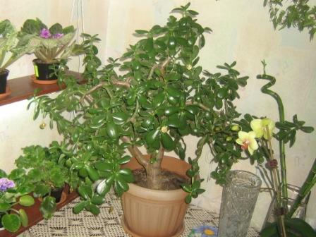 Толстянка (чудо-дерево) 8b64677a331d