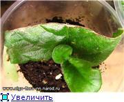 Размножение стрептокарпусов - Страница 5 26da299d2442t