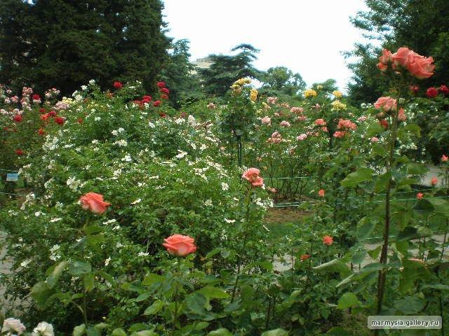 Крым. Никитский ботанический сад. - Страница 2 Ba7277d2f715