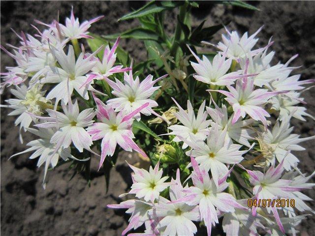 Однолетние растения 78fa85812e86
