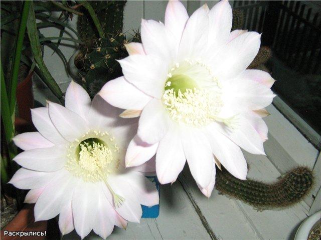 Моё цветочное богатство - Страница 2 5f971b9631fb