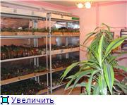 Геснеривые (фиалки, глоксинии, стрептокарпусы, и.т.д.)  0f8868de0895t