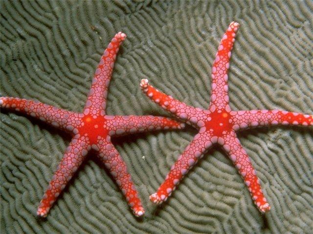Морская звезда Cb2b6796ec3b