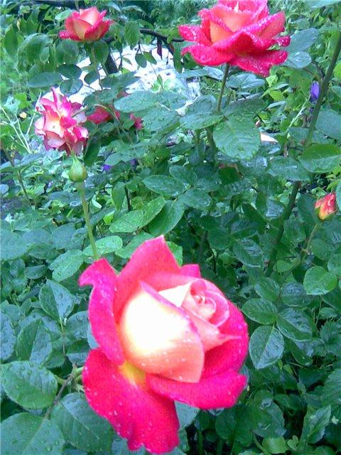 <K> Украсим розами любовь!  Фотовыставка. Eead8222f79f