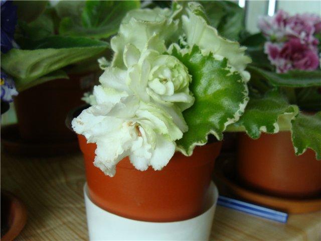 Весеннее  цветение (Хваст от Веры) - Страница 8 9772c6fb80e8