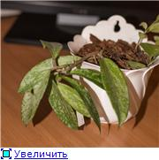 Hoya pubicalyx B2372be2b0b2t