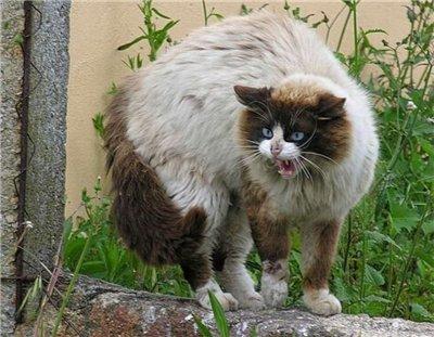 Сама по себе гулёна (о кошках) - Страница 2 F21265574ab6