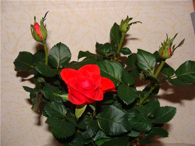 Комнатная роза 07a019d816c0