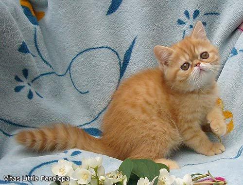 VITAS LITTLE - питомник персидских и экзотических кошек - Страница 4 A1fdd03b94eb
