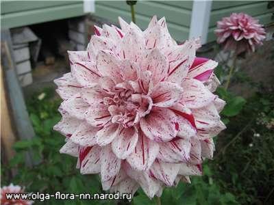 Многолетние растения Dc8743864934