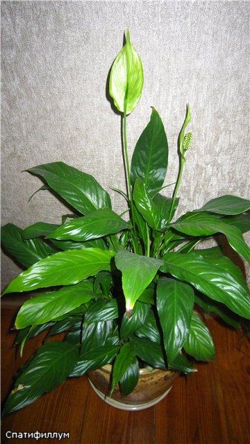Мои цветулечки - Страница 20 C739127c19af