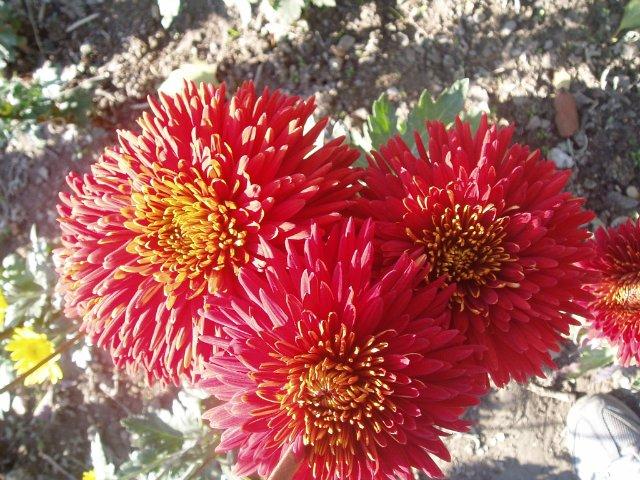Парад хризантем в Никитском ботаническом саду. Крым  - Страница 2 481b237e839e