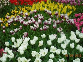 Рай тюльпанов или Кёкнхов - 2012 305a3d3d679at