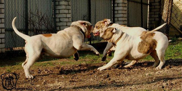 Собаки питомника Carpen Diaz - Страница 2 045229fd53ed